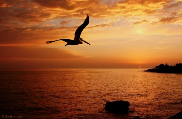 pelican_sunset
