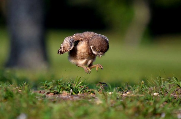 baby-owl-learning-to-fly-peter-brannon[1]