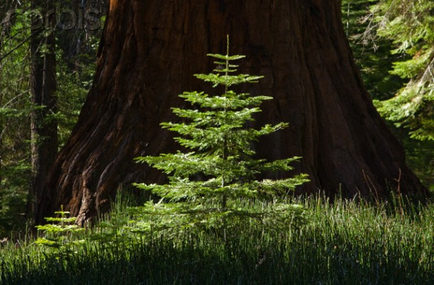 Redwood sapling at Yosemite