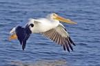 White_pelican02_-_natures_pics